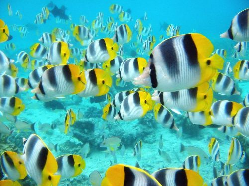 School_of_tropical_fish_tahiti_pictures_underwater_photos